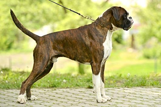 Der Boxer ein schöner Rassehund.(#02)