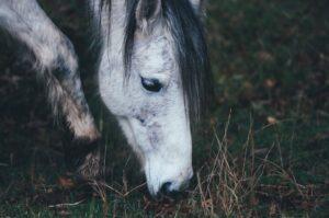 Bei Mangelerscheinungen sorgen Helfer der SOS-Pferdehilfe mit einer artgerechten Fütterung für ein Erholen und ein Wiedereintreten des Wohlbefindens des Pferdes. Auch das Vertrauen zum Menschen muss oft völlig neu aufgebaut werden. (#3)