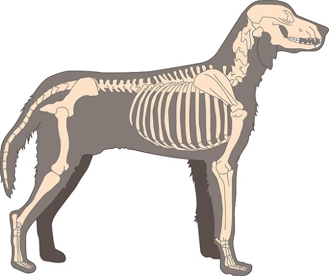 Der gesamte Körper des Hundes ist mit Muskeln durchzogen, ohne sie wäre eine Bewegung nicht möglich. (#05)