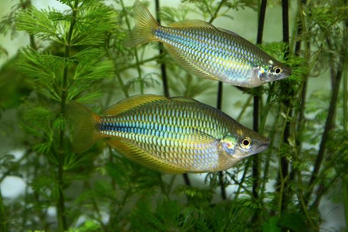 Viele dieser Fischarten haben sich an ein Leben im Süßwasser angepasst – sowohl in den Flüssen und Seen Europas, aber auch auf den anderen Kontinenten der Welt. (#01)