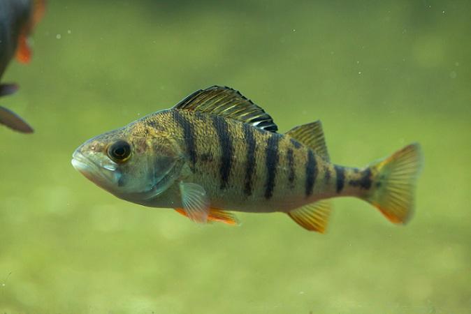 Die Tiere, die der Raubfisch frisst, sind meist größer und schneller als er selbst. Bei der Jagd, machen sie sich ihre geschärften Sinne zu Nutze, vor allem den Geruchssinn und ihr Sehorgan. (#05)