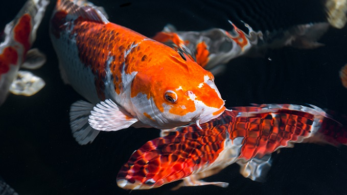 Alles in allem, gehören die meisten Fischarten des Süßwassers zu den karpfenartigen Fischen (200 Arten), gefolgt von den lachsartigen Fischen mit rund 40 Arten. (#04)
