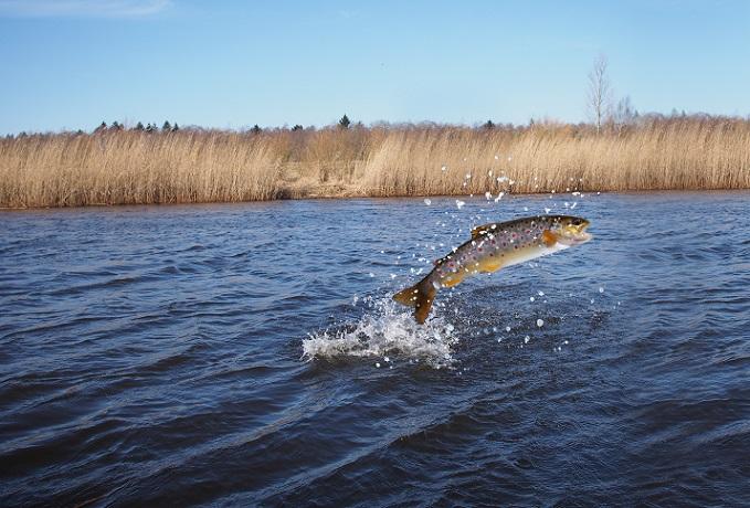 Der Lachs gehört in Deutschland zu den Fischarten des Süßwassers, die am gefährdetsten sind. Denn er ist schlicht der beliebteste aller Speisefische auf der Welt. (#06)