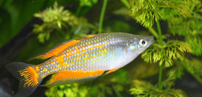 Aquarium Fische Süßwasser Liste : fischarten liste der s wasserfische ~ A.2002-acura-tl-radio.info Haus und Dekorationen