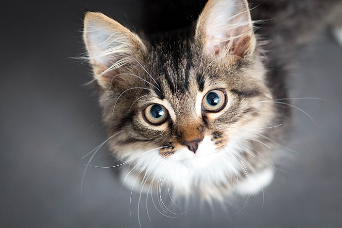 Wer kann diesen Augen widerstehen? – Diese Katze bettelt gekonnt. (#09)