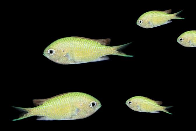 Sie leuchten und flitzen schimmernd durch das heimische Aquarium - Neonfische zeichnen sich vor allem durch ihre leuchtenden Farben aus. Besonders in großen Schwärmen kommen sie perfekt zur Geltung. (#04)