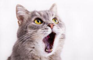 Die Rolligkeit der Katze ist an einigen Merkmalen zu erkennen. Besonders auffällig ist es, wenn die Katze mit ungewöhnlichen Lauten und außergewöhnlich starker Stimme auf sich aufmerksam macht. Dann gilt: Gefahr im Anflug! (#2)