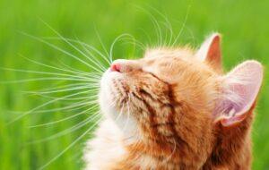 Die Rolligkeit hängt von der Sonne, genauer von der Helligkeit und deren Dauer am Tag ab. Katzen, die in freier Natur leben, verfallen nur während der warmemn und damit hellen Jahreszeit in die Rolligkeit. (#1)