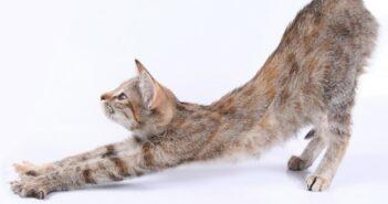 Wenn die Katze rollig ist: Die Rolligkeit bei Katzen