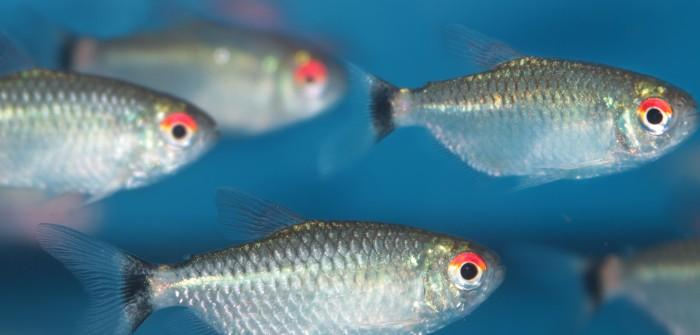 15 echte Schwarmfische fürs Aquarium