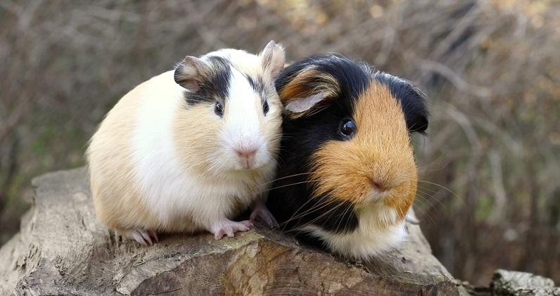Wer sich Haustiere kaufen will, kann sich neben Kaninchen, Hund oder Katze auch für ein Meerschweinchen entscheiden. Genau wie Kaninchen brauchen sie nicht allzu viel Platz und sind in ihrer Haltung recht unkompliziert. (#05)