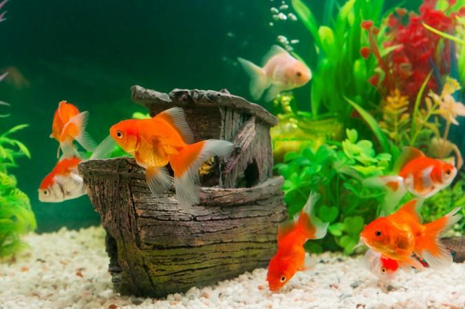 Mit dem richtigen Zubehör und geeigneten Pflanzen im Aquarium fühlen sich die Fische wie zu Hause. (#4)