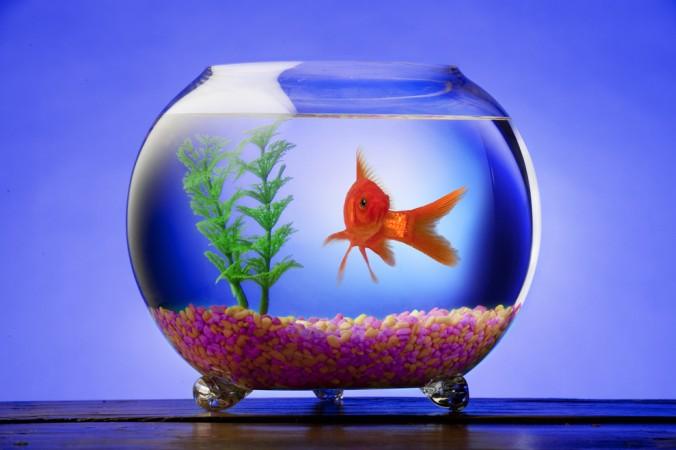 Ein Goldfisch im Glas zu halten ist keinensfalls eine gute Option, lassen Sie sich in einem Fachgeschäft lieber zu einem richtigen Aquaruim beraten - gute Aquarien gibt es nämlich in alle Größen! (#3)