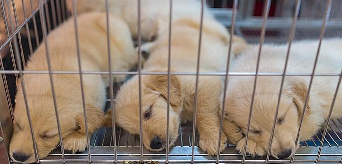 Hundemarkt Belgien: günstige Welpen und kritische Stimmen