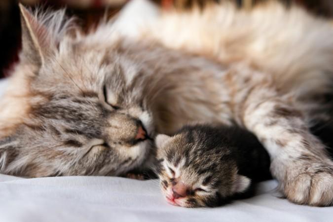 Baby Katzen werden mit geschlossenen Augen und Ohren geboren. Die Prägung erfolgt in erster Linie durch die Nase. Katzen Babys sollten daher immer in der Näher der Mutter bleiben. (#1)