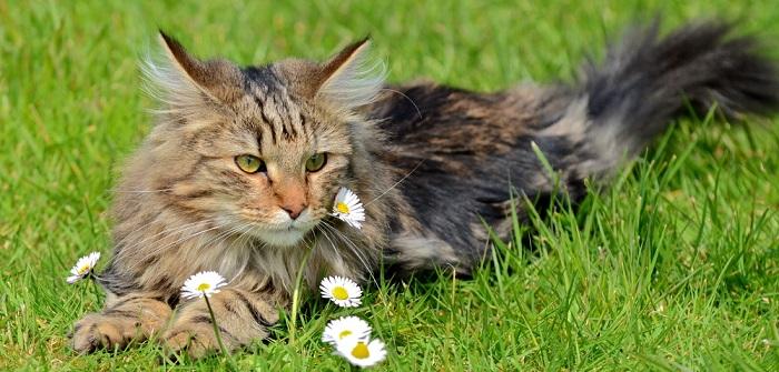 Norwegische Waldkatze: Infos zur Rasse für Neukäufer