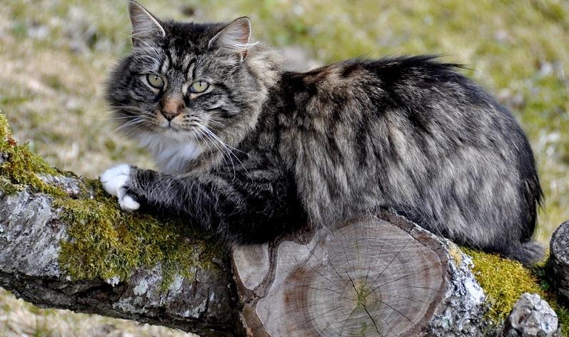 Insgesamt zeichnen sie sich durch ein liebevolles und soziales Wesen aus. Das Verhältnis zum Menschen ist sehr gut. Eine gut sozialisierte norwegische Waldkatze sucht oft den Kontakt zu den Menschen und kommuniziert sehr gerne mit ihnen. (#02)
