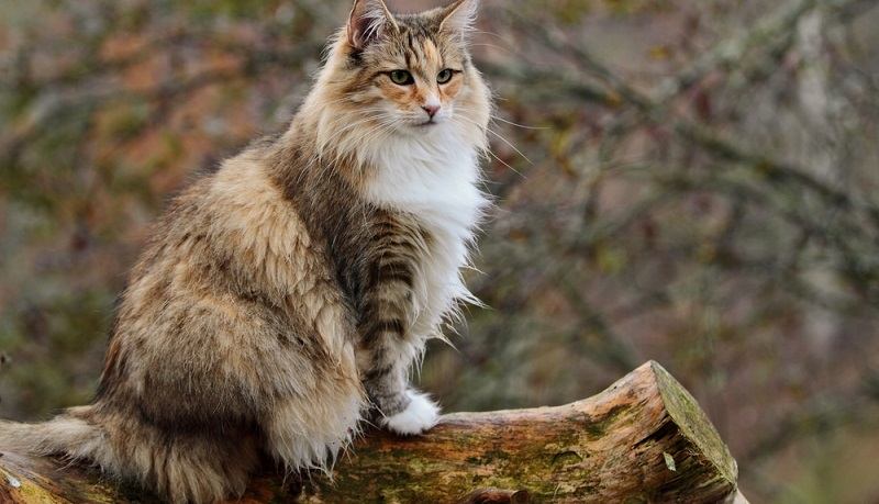 Etwas das vorhanden sein sollte, wenn man bei sich zuhause eine norwegische Waldkatze halten will: Ausreichend Platz. Da die Tiere Bewegung mögen, egal ob in der Natur oder im heimischen Garten, sollten sie diesem Drang ab und an nachgehen können. (#03)