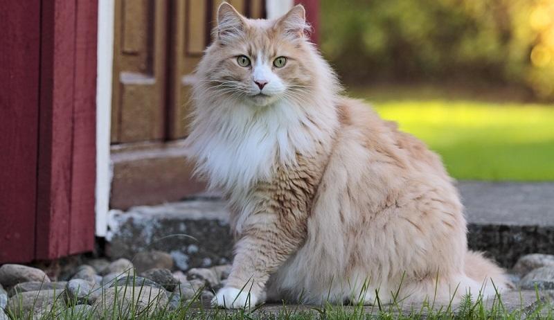 Alle Waldkatzen - egal ob Maine Coon, Sibirische Katze oder Norwegische Waldkatze – sind vor der Kälte im Winter sehr gut geschützt. Der Grund ist die dichte Unterwolle. Dazu kommt noch das Deckhaar, das etwas länger ist. (#01)