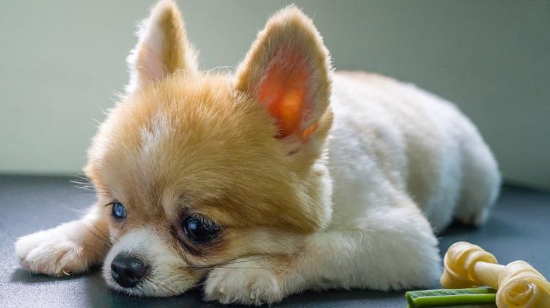 Lethargie: Einige Hunde reagieren stark lethargisch, wenn sie eine Futtermittelunverträglichkeit haben. (#02)