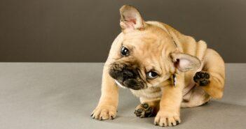 Flöhe beim Hund: Flöhe systematisch bekämpfen