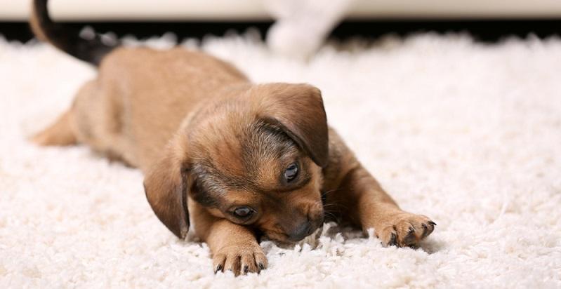 Egal, wann der Hund gefüttert wird – danach ist Ruhe angesagt. Das Tier möchte ein Verdauungsschläfchen halten, ruht sich aus und lässt seinem Körper Zeit. (#02)