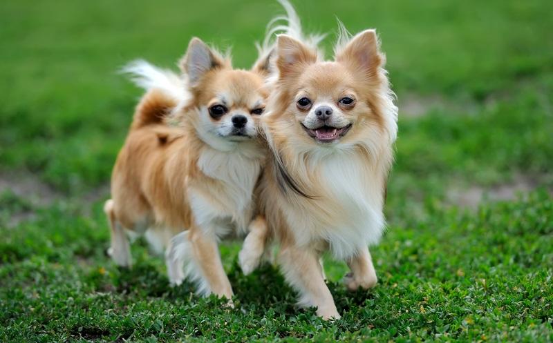 geeignete Hunderasse: Zu den kleinen Hunden zählt unter anderem der Chihuahua. (#05)