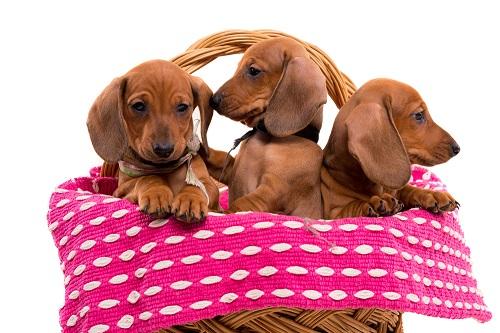 Alle Hundewelpen ob kleine Welpen von Phalene oder wie hier zu sehen Hundewelpen, sind einfach zum verlieben.(#08)