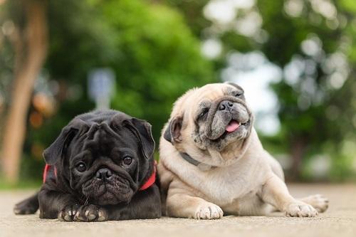 Mops, Dackel, Papillon, Phalene diese und noch mehr Rassen gehören zu den Minihunden. (#11)