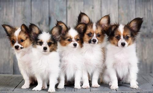Der Papillon gehört ebenfalls zu der Kategorie Minihunde. Zum verwechseln ähnlich die Phalene. (#10)