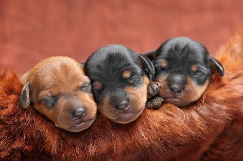 Ob Zwergpinscher, Dackel oder Phalene, für diese Minihunde ist in der kleinsten Wohnung Platz(#09)