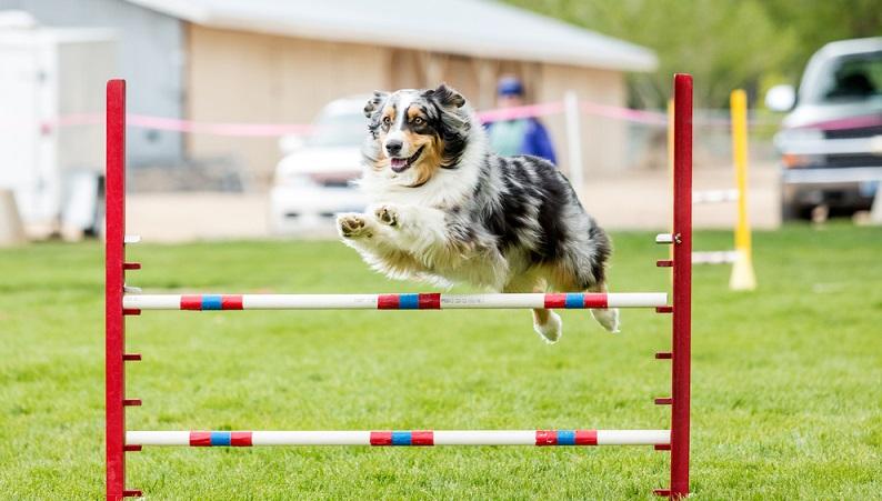 Wenn Sie einen langen Spaziergang mit hoher Geschwindigkeit unternommen haben oder wenn Sie intensiv mit dem Tier gespielt haben, hechelt es danach fast immer stark. (#02)