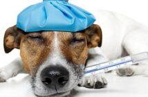 Körpertemperatur beim Hund: Wann hat ein Hund Fieber?