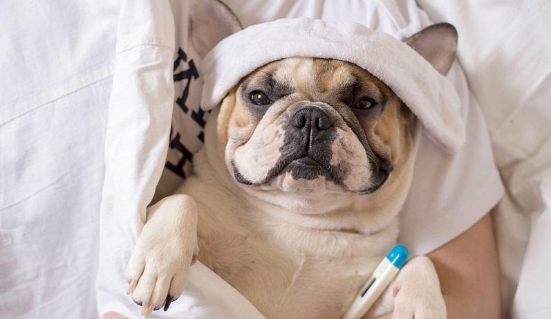 Die fiebrige Erkrankung kann beim Hund auf viele verschiedene Arten ablaufen. Der Verlauf kann wichtige Hinweise auf die auslösende Krankheit geben. (#04)