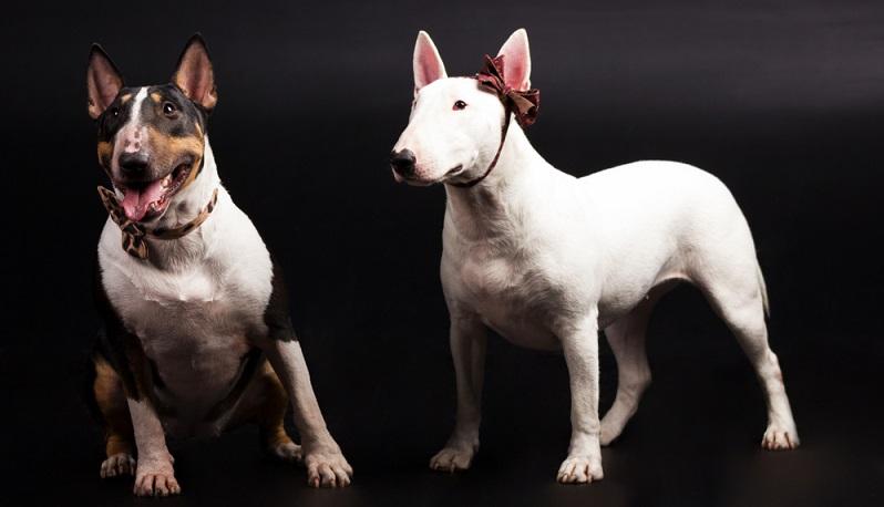 Viele Menschen sind auch davon überzeugt, dass der Bullterrier die hässlichste Hunderasse der Welt ist. (#06)