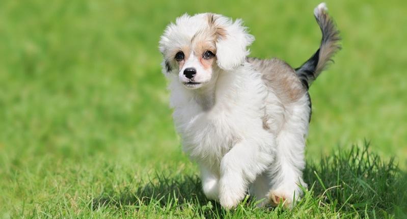 Eine weitere Rasse, die bereits viele Wettbewerbe für sich entscheiden konnte, ist der chinesische Schopfhund. (#03)