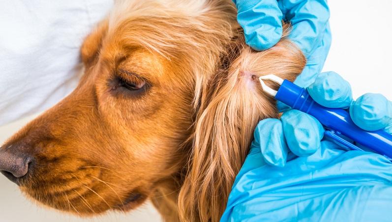 Es ist sogar für einen Tierarzt sehr schwierig, eine Infektion mit Borrelien eindeutig festzustellen, denn selbst wenn ein Bluttest das Vorhandensein von Antikörpern nachweist, ist dies kein Beweis für eine frische Infektion. (#04)