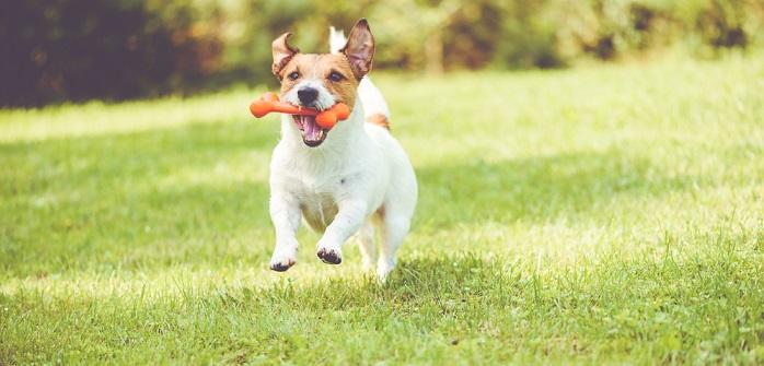 CBD-Öl für den Hund: Fit, gesund und agil bis ins hohe Alter