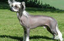 Chinesischer Schopfhund: Tipps zur Erziehung und Haltung