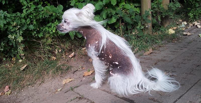 Um einen Chinesischen Schopfhund zufriedenzustellen, brauchen Sie nicht viele Vorkenntnisse.(#01)