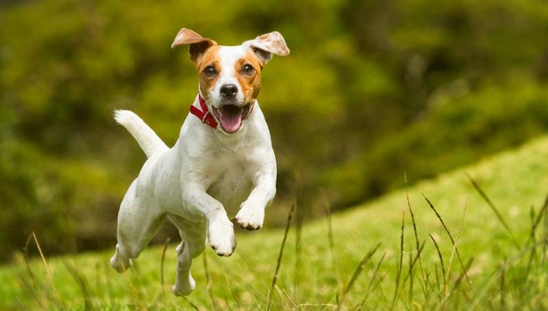 Hat der Hund keine Bauchschmerzen mehr, kann er wieder rennen und springen.