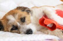 Hund hat Bauchschmerzen: Symptome & Therapie