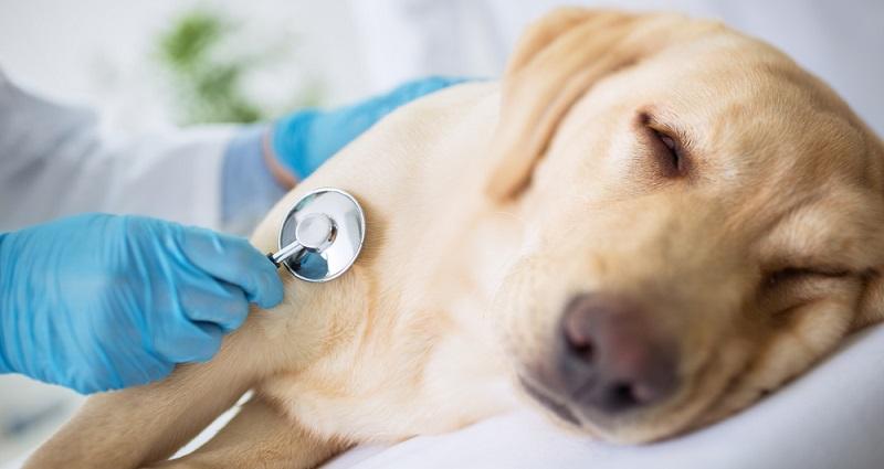 Hund hat Bauchschmerzen: Der Hund sollte einem Tierarzt vorgestellt werden, für die weitere Diagnostik.