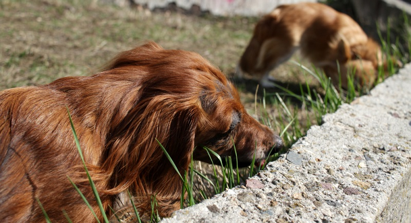 Wenn ein Hund Gras frisst kann das ein Anzeichen sein, dass dieser Hund Bauchschmerzen hat.
