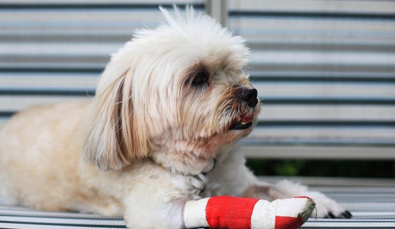 Hund humpelt nach einer Schnittverletzung am Pfotenballen, der Verband muss häufiger gewechselt werden.