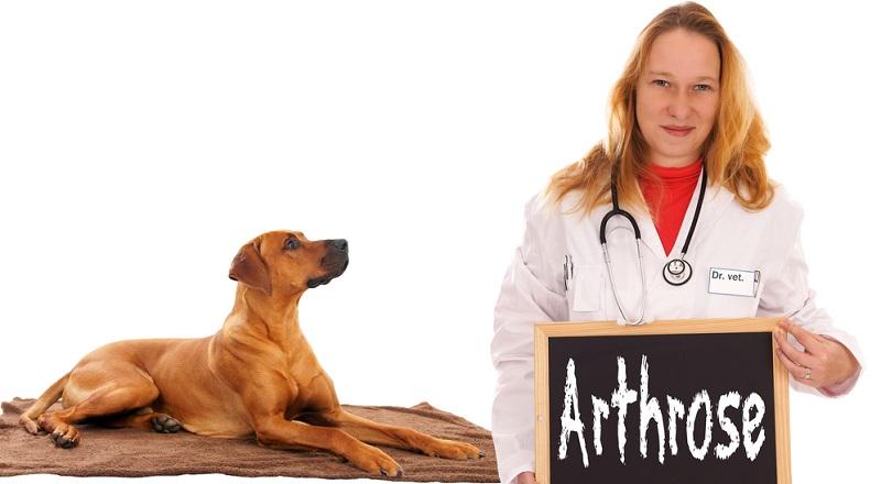 Arthrose ist leider nur schwer aufzuhalten. Goldimplantate sollen bei manchen Hunden helfen.