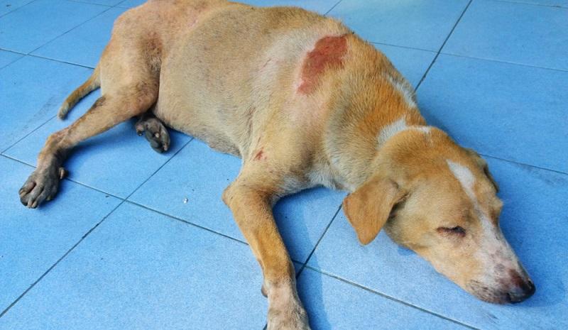 Hund humpelt und sollte unbedingt nach einer Prellung untersucht werden.