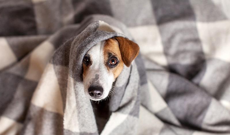 Hund ist schlapp: Erkältungen sind nicht selten bei den Hundekrankheiten.
