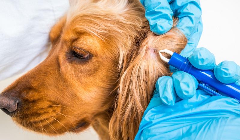 Zecken immer entfernen: Borreliose kann sehr gefährlich für den Hund werden.