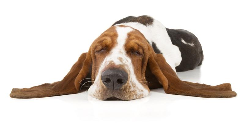 Ist der Hund plötzlich auffällig schlapp und lustlos, kann eine Erkrankung der Grund dafür sein.